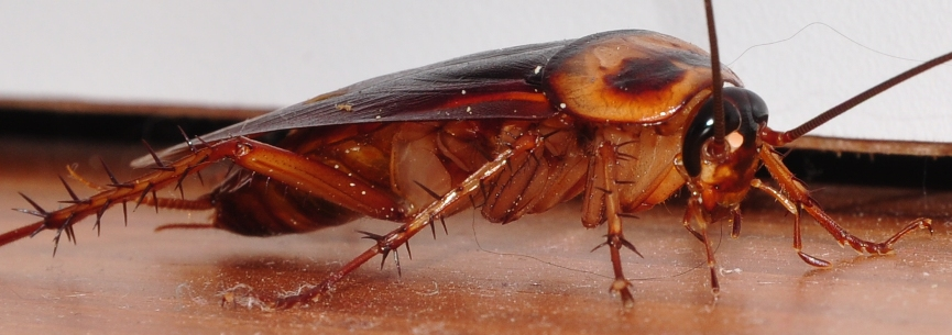 cockroach close up Wikimedia Commons image