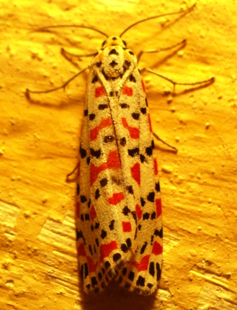 Moth, Morocco