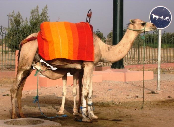Camel Milk (Marrakech Menara)